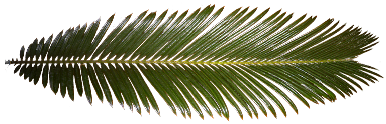 The texture used to draw the palm fronds in the sample app.